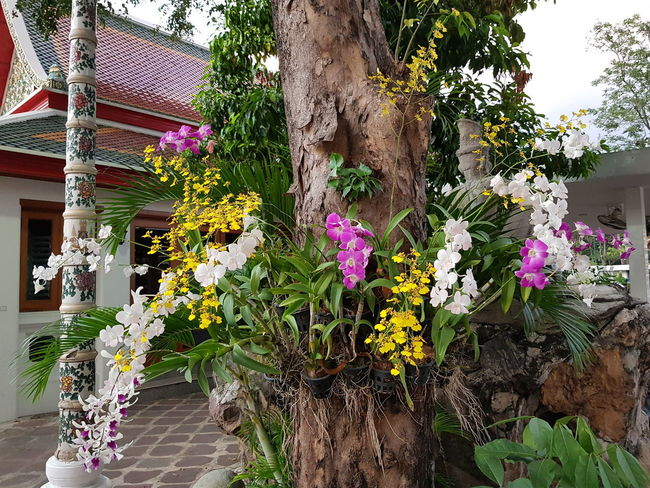 orchid in temple Orchid Flower Hanging Multi Colored Plant Built Structure Building Exterior Petal Purple In Bloom