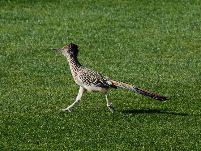 Roadrunner Bird Bird Photography EyeEm Best Shots