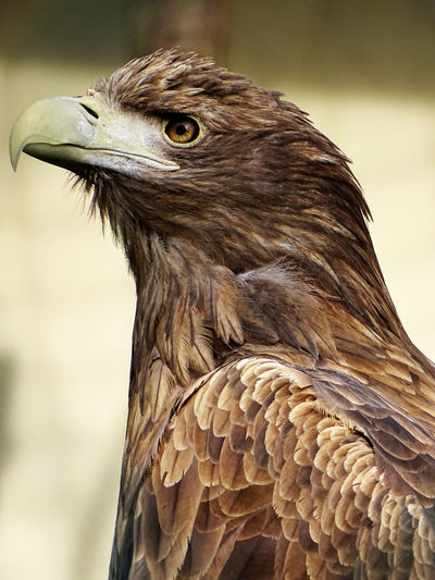 Close-up of golden eagle