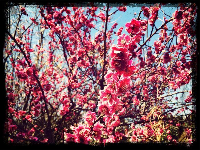 梅の花だよ〜( ´ ▽ ` )ノ First Eyeem Photo