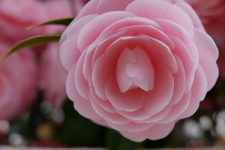 Flower Head Flower Peony  Pink Color Flamingo Petal Rose - Flower Close-up Plant