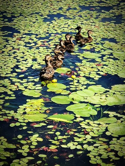 Mother Duck following her Ducklings Water Nature Lake High Angle View No People Day Green Color Animal Sunlight Animal Themes Vertebrate Outdoors Animal Wildlife Beauty In Nature Shadow Leaf Group Of Animals Bird Floating On Water Leaves