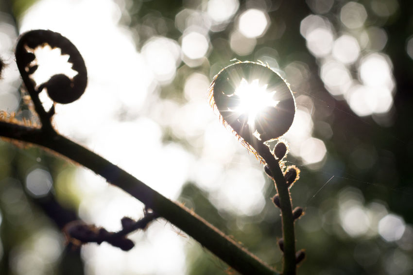 Koru Silver Fern Beauty In Nature Close-up Fern Growth Koru Nature New Zealand Outdoors Plant