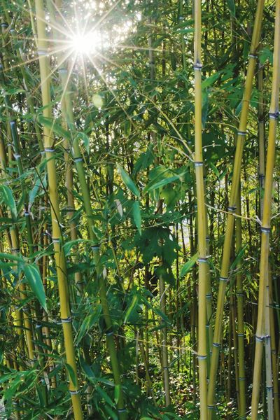 бамбук солнце свет лучи лучисолнца лучи солнца роща Growth Nature Lens Flare Green Color Plant Sun Beauty In Nature Sunlight Day No People Bamboo - Plant Freshness Sky