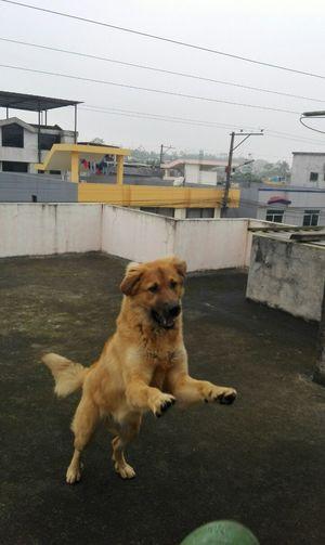 Oso Dog Domestic Animals Perros❤ Juguetón Mascotas 🐶 Perro❤