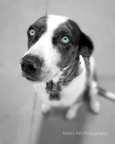 Dogphotography #dogphoto #Pets #petphotography # Catahoula #blueeyes Domestic Animals One Animal Animal Themes