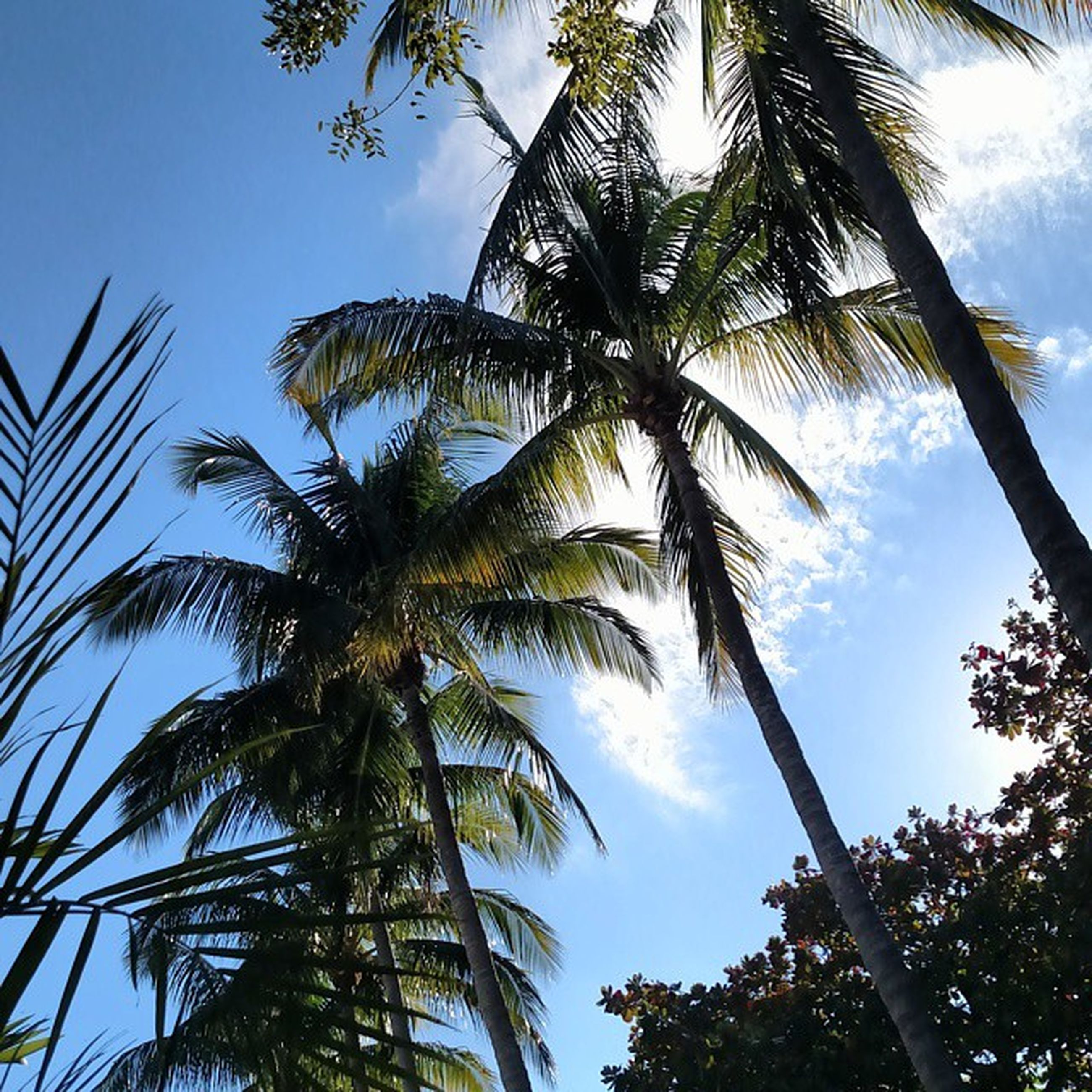tree, palm tree, low angle view, growth, sky, tree trunk, tranquility, branch, nature, beauty in nature, coconut palm tree, scenics, blue, tall - high, palm leaf, green color, day, leaf, tropical tree, tranquil scene