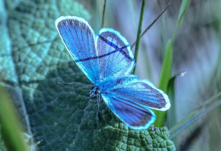Insect Animal Themes Animals In The Wild One Animal Butterfly - Insect Animal Wildlife Close-up Nature No People Outdoors Day Plant Spread Wings Fragility Perching Beauty In Nature Common Blue Common Blue Butterfly Beauty In Nature