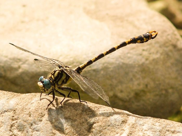 EyeEm Selects Yellowclubtaileddragonfly Insect Animals In The Wild Animal Themes One Animal Focus On Foreground Day Animal Wildlife Outdoors Rock - Object No People Close-up Nature Dragonfly EyeEm Nature Lover EyeEm Best Shots