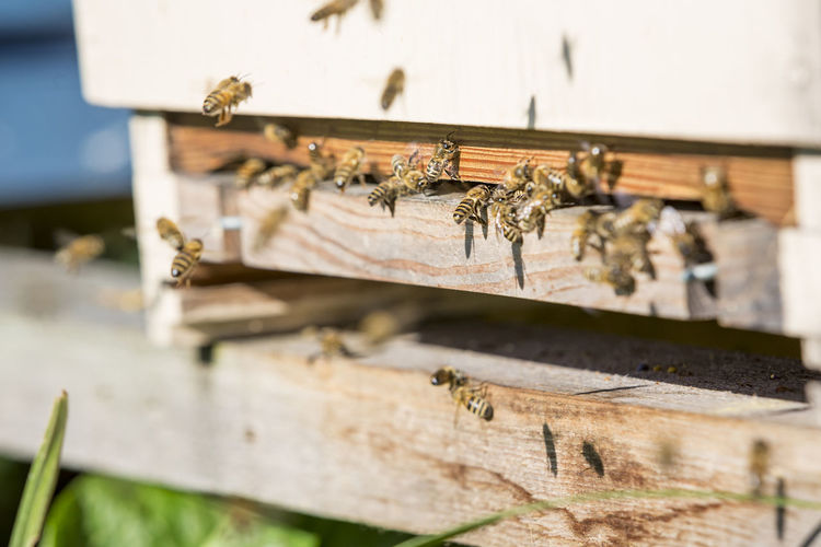 Close-up of bees on wooden box