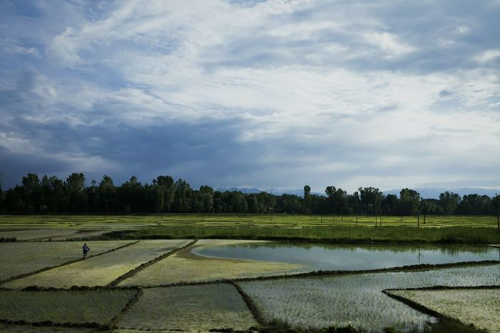 Rice Farmland Showcase June Feel The Journey Canon Canon Eos 1100 D Kashmir Travel Travel Photography Travel Destinations Adventure India Beauty In Nature EyeEm Nature Lover EyeEm Best Shots Nature_collection Farm