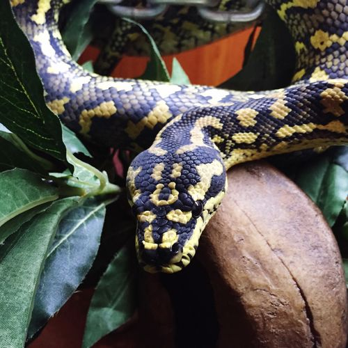 George. Python Jungle Python Carpet Python Snake