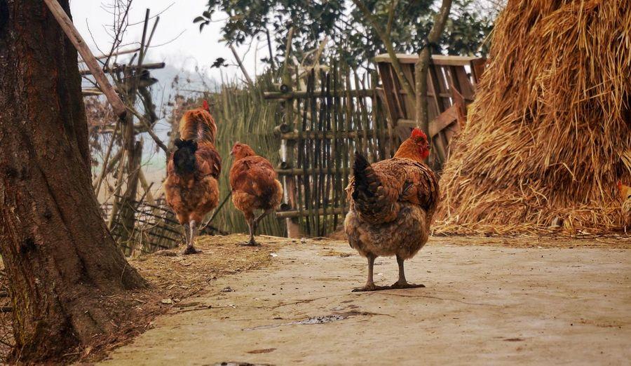 Hen at farm