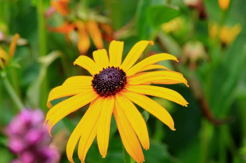 Beauty In Nature Black Eyed Susans Blooming Blossom Botany Close-up Day Flower Flower Head Focus On Foreground Fragility Freshness Green Color Growth In Bloom Nature No People Outdoors Petal Plant Pollen Selective Focus Softness Tranquility Yellow
