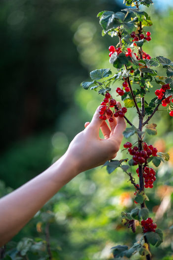 Picking red berries in the garden