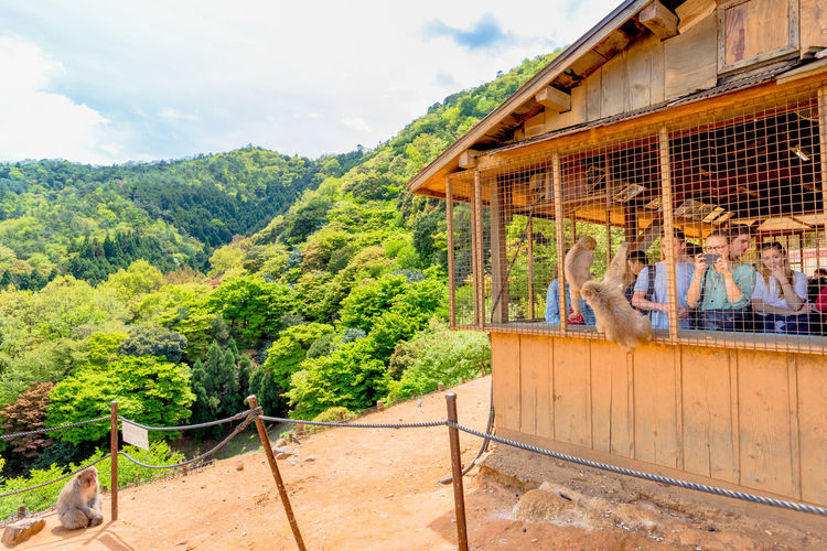 Kyoto, Japan : visitors atop of popular touristic attraction Iwatayama Monkey Park in Arashiyama. People admiring spectacular skyline of Kyoto, Japan. Leisure and tourism concept. Young happy woman eating at Japanese macaque inside popular Iwatayama Monkey Park in Arashiyama, Kyoto, Japan. Tourist enjoys interaction with Macaca Fuscata monkey. Leisure and tourism concept. Arashiyama Feeding  Feeding Animals Fun Iwatayama Monkey Park Japan Japanese  Kyoto, Japan Macacos Touristic Tourists Woman Adult Animal Apes Architecture Beauty In Nature Building Exterior Built Structure Cloud - Sky Day Green Color Group Of People Iwatayama Kyoto Kyoto City Kyoto,japan Landscape Leisure Activity Macaca Macaca Fascicularis Men Monkey Mountain Nature Outdoors Park People Peoplephotography Plant Sky Travel Tree Wildlife