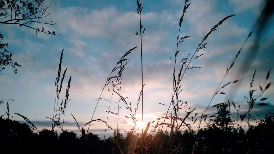 Soft Sunset Outdoors Nature Photography Colorful Trees Nature Reeds, Weeds, Marshland, Marsh, Framed Shot Sunset Sunlight, Shades And Shadows Sunset Through Tall Grass Grass Landscape Sunset Tree Silhouette Sky Cloud - Sky Close-up Countryside Farmland Blade Of Grass Grass Area Grassland
