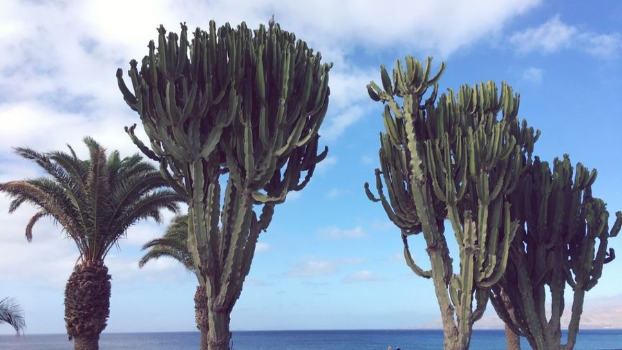 Cactus Sky Nature Day Lanzarote Hot No People Palm Tree