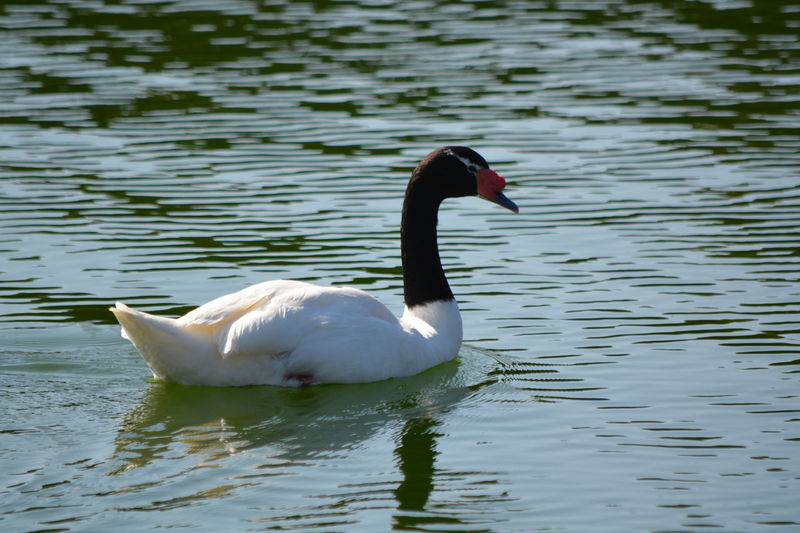 Animal Themes Water Bird Animals In The Wild Lake Wildlife Side View One Animal Reflection White Color Swan Beak Aquatic Swimming Zoology Floating On Water Rippled Nature Waterfront Tranquility