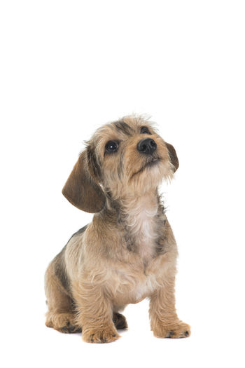 Cute wire-haired dachshund puppy sitting and looking up isolated on a white background Dachshundsofeyeem Wire-haired Dachshund Wirehaired Dachshund Puppy Innocence Small Brown Cute No People Vertebrate Sitting Indoors  Domestic Animals Pets Isolated Dachshund Animal Canine Dog Young Animal Copy Space Animal Themes Studio Shot White Background Domestic Cut Out