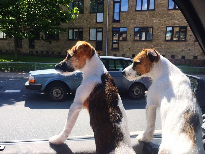 Jackrussell Puppy Cruise Van Travling Animals Dog