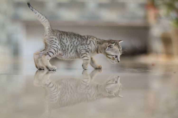 Cute kitten reflection Animal Breed Cat Cub Cute Day Deft Domestic Cat Feline Furry Gray Hair Isolated Kitty Little Looking Mammal No People One Animal Outdoors Paw Pedigree Predator Soft Striped Young Mix Yourself A Good Time