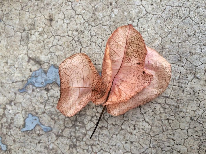 High angle view of maple leaf on ground