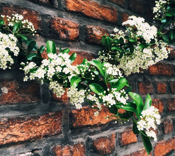 White Wallflowers White White Color Brickwall Mechelenbelgium Streets