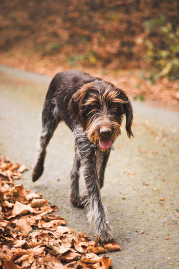 Enthusiastic rough-coated bohemian pointer is playing on a road full of leaves. enjoying the fresh