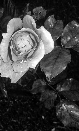#BeyondTheClick Blackandwhite Flower Freshness Nature Rainy Days Rosé Springtime Strength