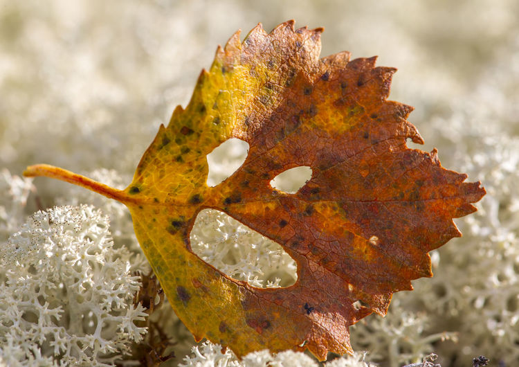 Close-Up Of Dry Maple Leaf On Coral