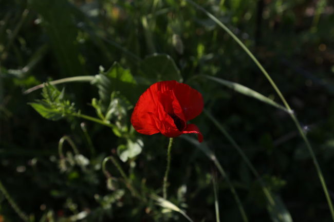 No Filter, No Edit, Just Photography Beauty In Nature Day Flower Flower Head Fragility Nature Outdoors Papaver Plant