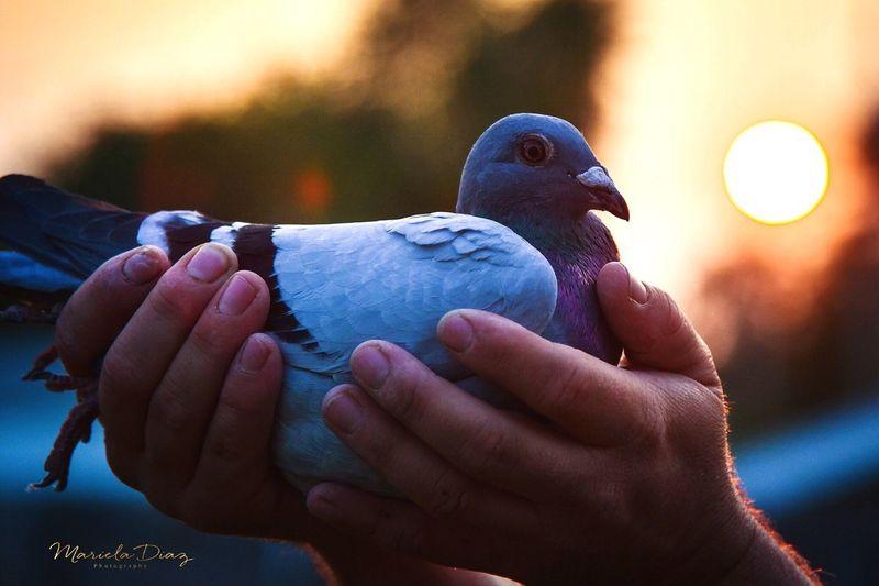 Racing Pigeon🏁🏅 Bird Human Hand One Animal Outdoors Sunset Racing Pigeons Sport Champion Pet Portraits