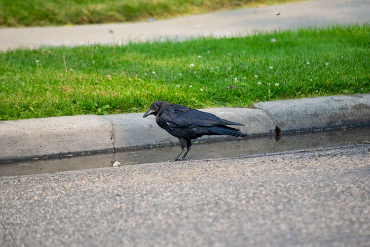 Side view of a bird on the road