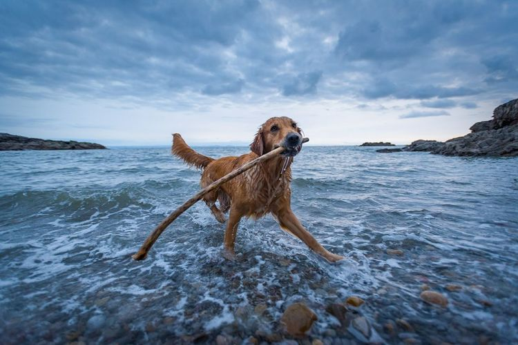 Coast Magazine Dog of the Year Animal Dog Playing Pets Wet Beach Fun Outdoors Full Length One Animal Sky Motion Retriever Sea Cloud - Sky No People Nature Dramatic Sky Tranquility Water Mumbles, Gower, Gower