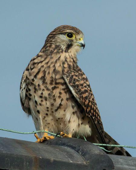 Common Kestrel Kestrel Nikon 1 V3 Nikkor 300mm F4D EyeEm Selects Bird Of Prey Bird Perching Owl Falcon - Bird Hawk - Bird Close-up Sky