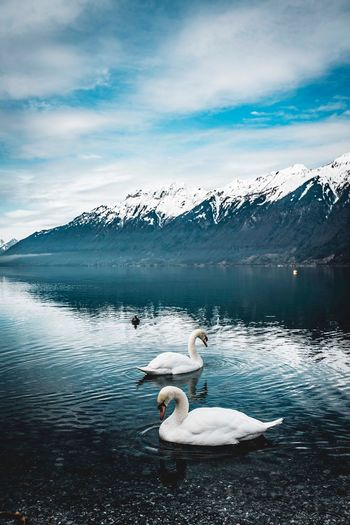 Just the two of us Lake Brienz Switzerland EyeEm Selects Lake Swan Water Nature Mountain Shades Of Winter Bird Animal Themes Cloud - Sky Beauty In Nature Animals In The Wild Tranquil Scene Cold Temperature No People Snow Mountain Range Winter White Color Sky Day Scenics