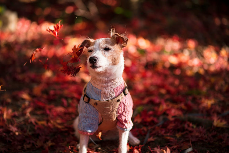 Portrait of dog on field during autumn