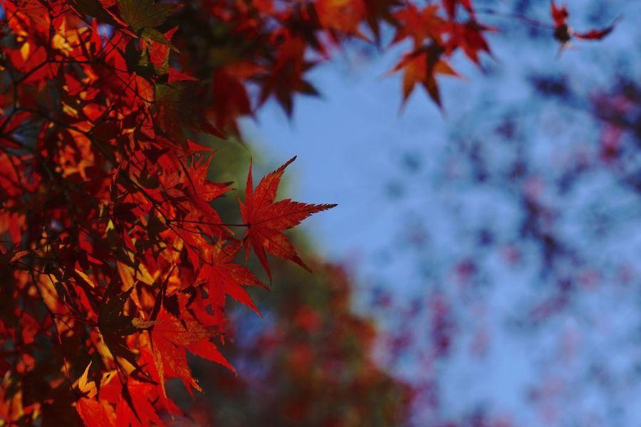 EyeEm Best Shots Kyoto 光明寺 紅葉 Jupiter9 Japan Change Leaf Autumn Maple Leaf Maple Tree Maple Leaves Nature Red Tree