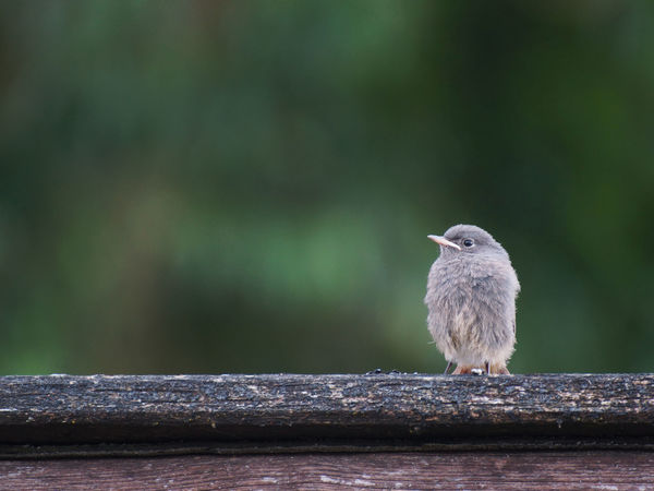 Juvenile black redstart, looking lonesome Alone Animal Animal Themes Animal Wildlife Animals In The Wild Baby Animals Bird Bird Photography Birds Black Redstart Close-up Day Fearful Juvenile Juvenile Birds Lonely Lonesome Lost Nature No People One Animal Outdoors Perching Redstart Waiting