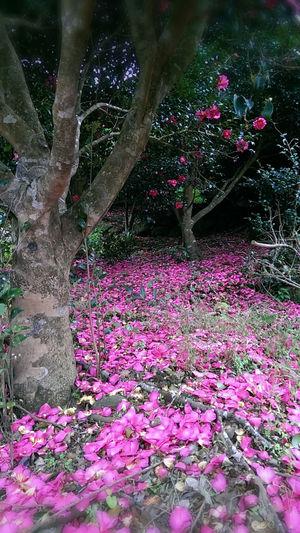 Walking Around From My Point Of View Flowers,Plants & Garden 高山山茶花為大自然舖上滿滿的豔麗彩衣 美得令人驚豔。。。^^