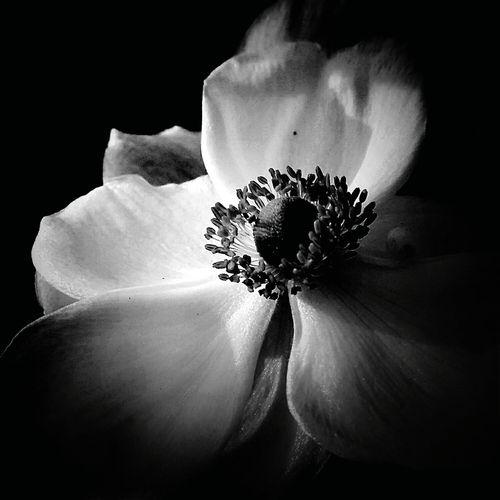 Flower シュウメイギク 秋明菊 Flower Collection Flowerlovers Nature Nature Photography Naturelover Monochrome Eyeem Monochrome EyeEm Best Shots - Black + White