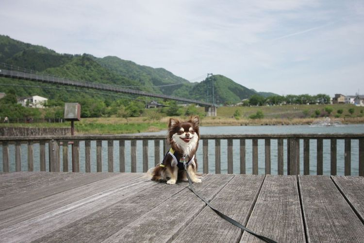 Chihuahua sitting on pier by bridge over river against sky