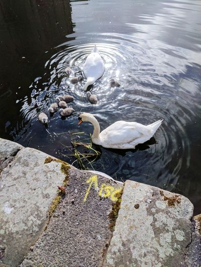Water Lake Swimming High Angle View Close-up Swan Floating On Water White Swan Duck Water Bird Duckling Young Bird