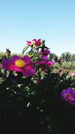 No Filter, No Edit, Just Photography Natura Peonies Bloom Peonie un angolo di paradiso 😍 con intensi profumi da ogni dove... wow
