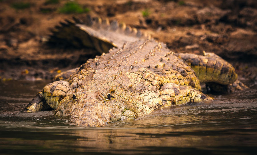 Nile crocodile swimming away Animal Animal Body Part Animal Eye Animal Head  Animal Scale Animal Themes Animal Wildlife Animals In The Wild Close-up Crocodile Day Dirt Mud Nature No People One Animal Outdoors Reptile Selective Focus Sign Surface Level Vertebrate Warning Sign Water