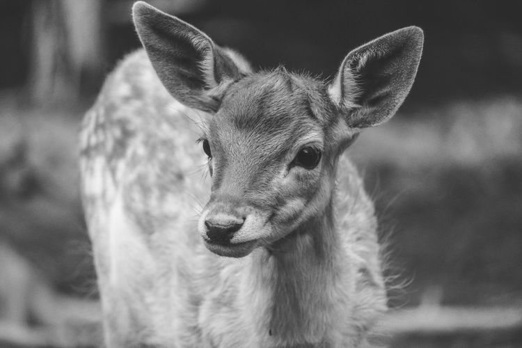 Animals In The Wild One Animal No People Deer Nature Outdoors Day Love Black And White Photography Lightroom Photooftheday Animal Themes Animals In The Wild One Animal Mammal Deer No People Close-up Nature Outdoors Day First Eyeem Photo