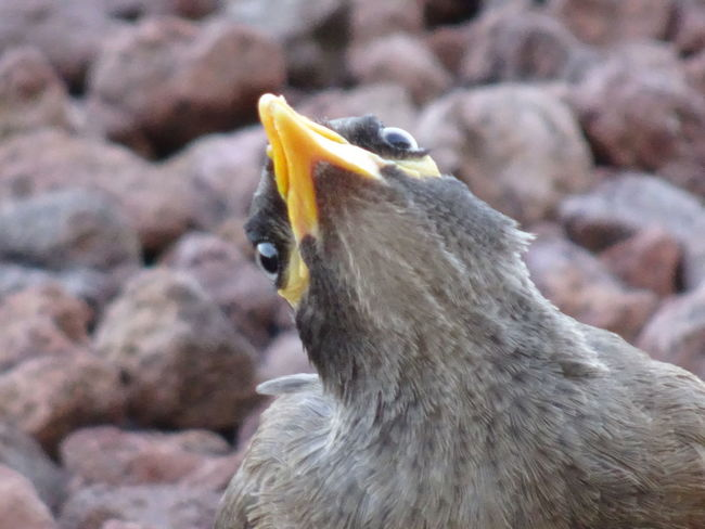 Common Mynah series (5) Acridotheres Tristis Indian Myna Birds EyeEm Birds