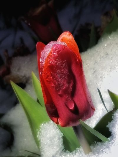 Snow On Flower