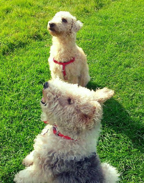 Friendship Dogs Animal Cute Pets Bedlingtonterrier Friends ❤Sitting Down